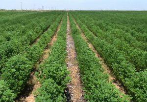 Guar Crop Farming In Rows