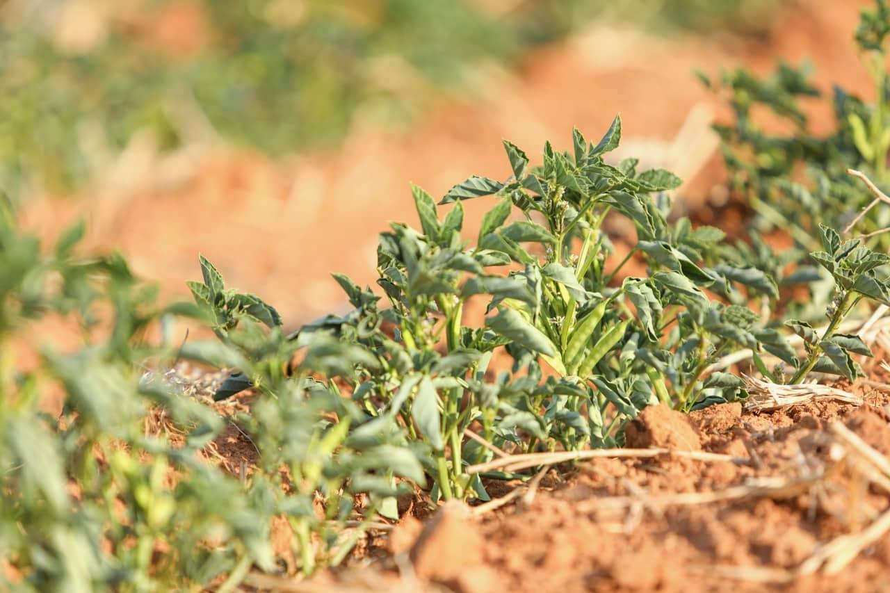 Guar Plant Guar Gum Field
